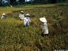 1996_vn_mekong_rice_harvest_waibel