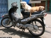 2007_hcmc_distr-6_dogs_on_motorbike_waibel