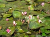 vn2002-mwaibel-lotus-plants-medium1